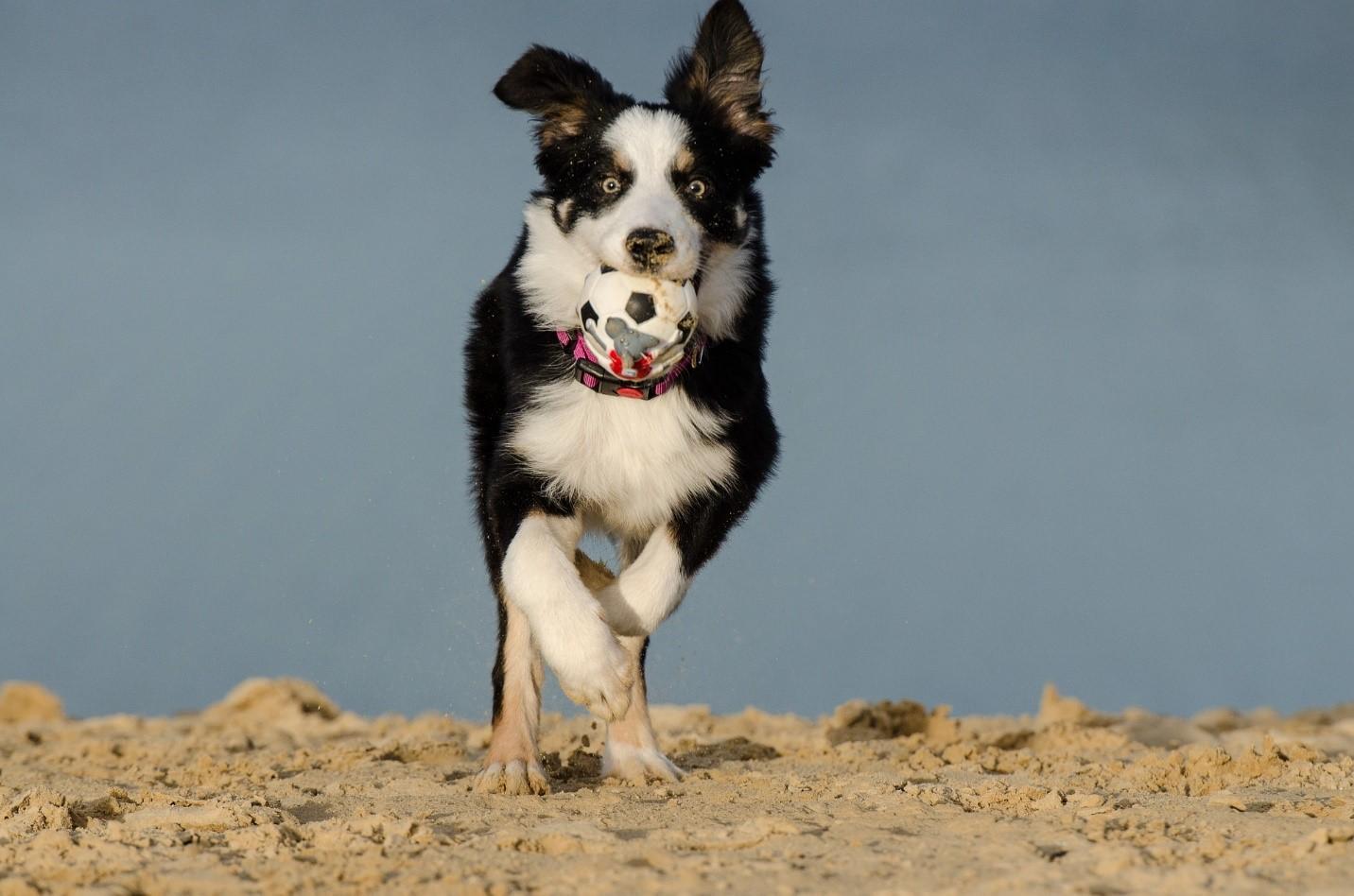 Collie Dog Rescue Scotland
